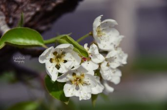 cropped-pear-tree-flower-1.jpg