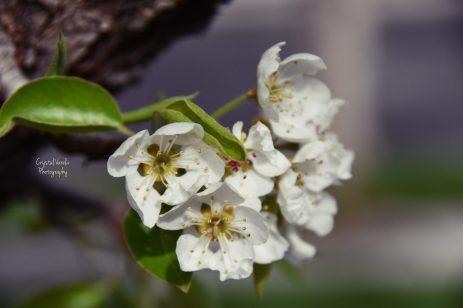 cropped-pear-tree-flower-1.jpg